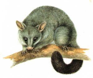 b-possum